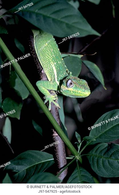 Vertical image of a seldom seen arboreal reptile Knight Anole (anolis equestris) or Cuban Knight Anole on a carambola fruit tree - Palm Beach, Florida