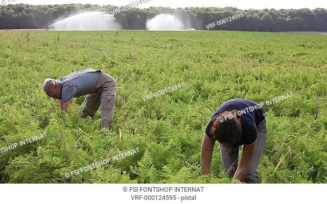 Lockdown, MS, man and woman harvesting carrots on an organic farm