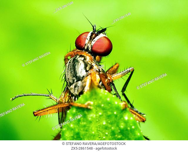 Two flies fighting (Musca domestica vs Scathophaga inquinata) - London, England