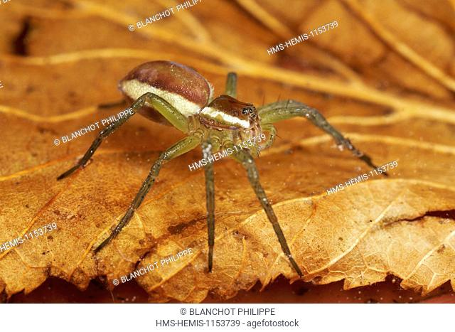 France, Araneae, Pisauridae, Great Raft spider (Dolomedes fimbriatus), young
