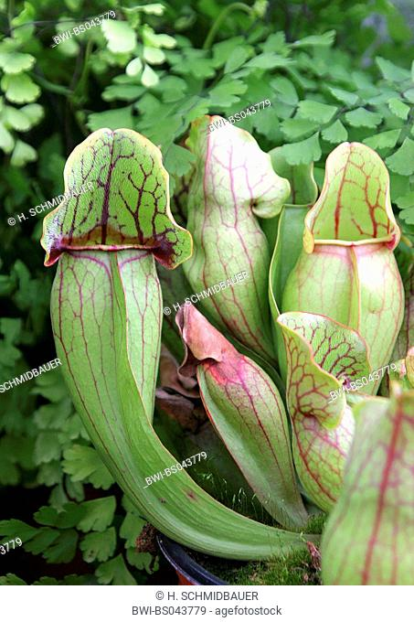 northern pitcher plant (Sarracenia purpurea), special leaves for catching insects