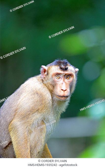 Malaysia, Sabah state, Sandakan, Sepilok Orang Utan Rehabilitation Center, Southern pig-tailed macaque (Macaca nemestrina)