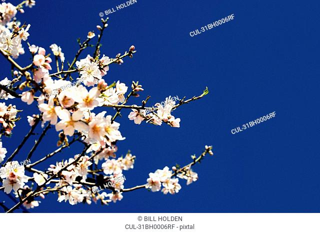 An Almond tree in bloom against the sky