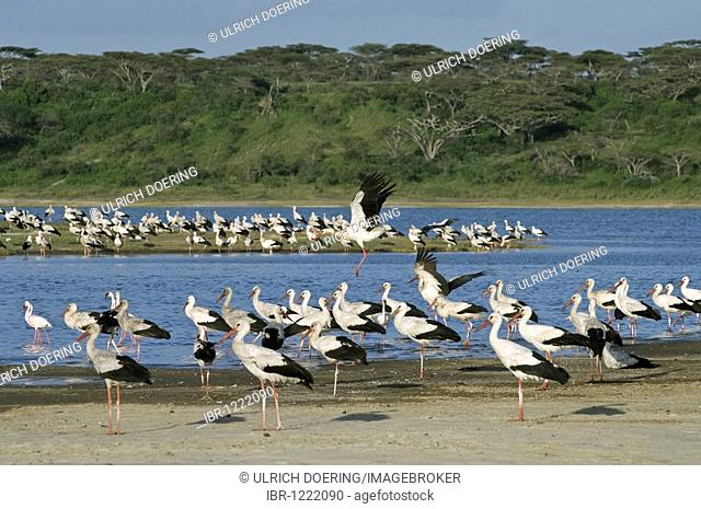 White storks (Ciconia ciconia) resting at Lake Ndutu during their yearly migration from Europe to Africa, Ngorongoro, Tanzania, Africa