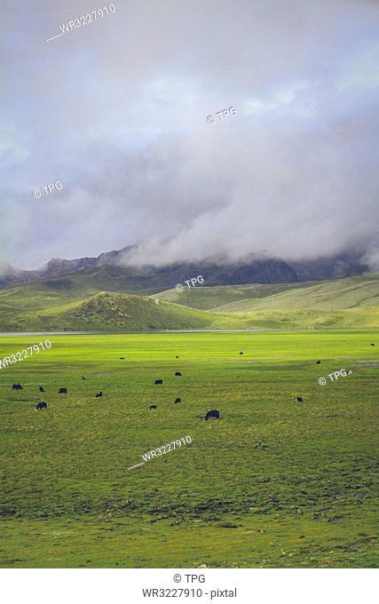 Pasture;Tibet; China;