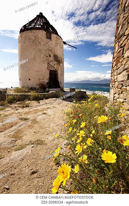 Traditional windmill on the hill with camomiles in the foreground at spring, Mykonos, Cyclades Islands, Greek Islands, Greece, Europe