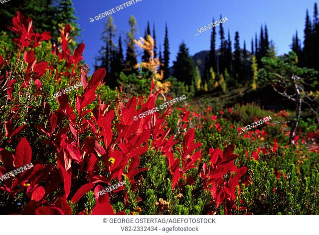 Autumn huckleberry at Heather Pass, Okanogan National Forest, Washington