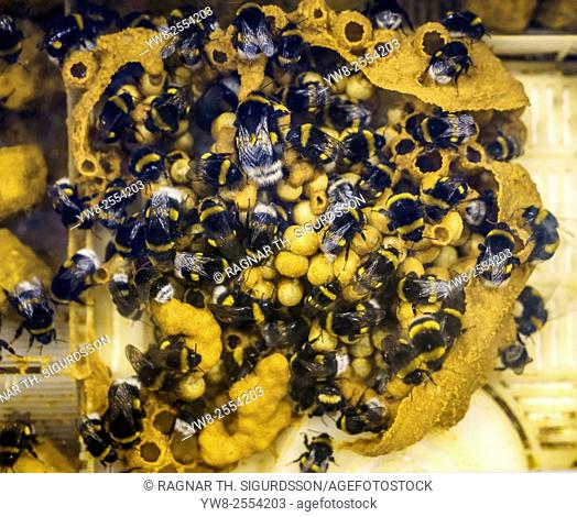 Honey bees in greenhouse, Iceland