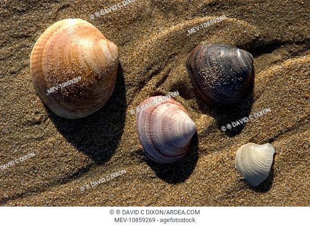 SHELLS - on beach. Thousands of mollusc shells are cast-up by waveseach day. Punta Umbria. Province of Huelva. Spain. Atlantic coast