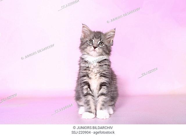 American Longhair, Maine Coon. Tabby kitten (8 weeks old) sitting. Germany. Studio picture seen against a pink background