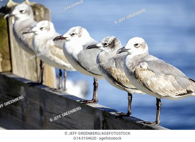 Florida, Jensen Beach, Causeway Park, Indian River Lagoon, seagulls, birds, resting, row