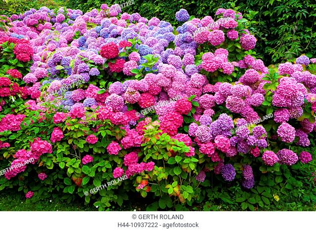 Abbaye de Beauport, Paimpol, France, Europe, Brittany, department Côtes d'Armor, flowers, hydrangeas