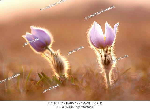 Pasqueflowers (Pulsatilla vulgaris) in meadow, backlit, Hesse, Germany
