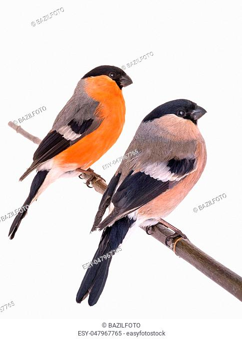 male and female bullfinch on a white background