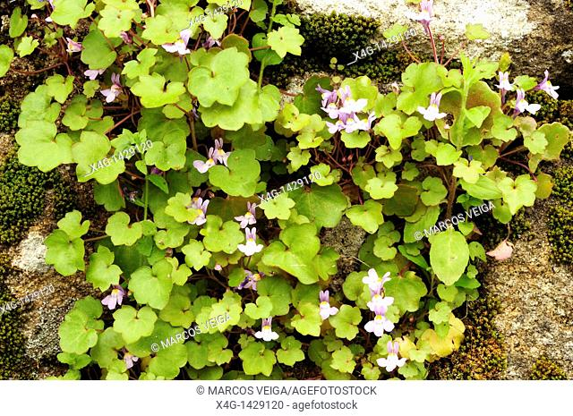 Ivy-leaved toadflax or Kenilworth Ivy Cymbalaria muralis