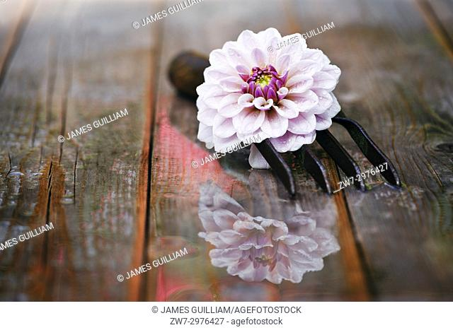 Dahlia flower with hand fork on wet wooden table