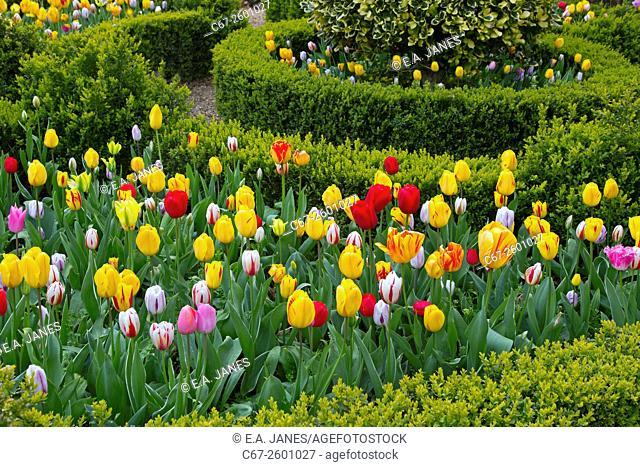 Tulip varieties and box hedging in flower Spring Norfolk