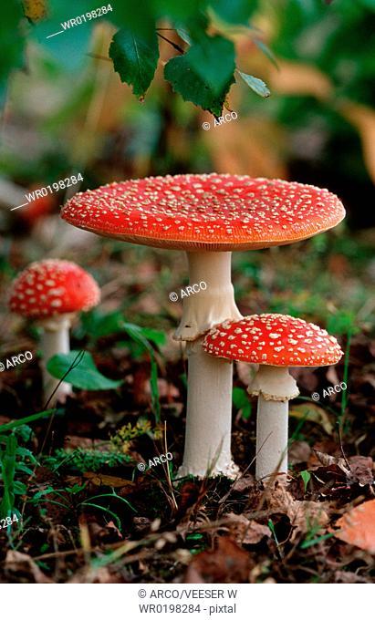 Fly, Amanita, Mushrooms, Baden-Wurttemberg, Germany,Amanita, muscaria