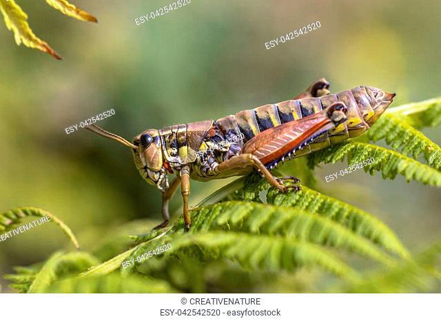 Alpine Bush-cricket (Anonconotus alpinus) resting on fern in natural habitat