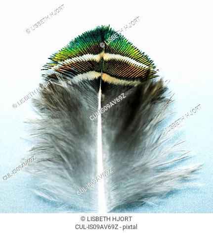 Peacock feather with green and turquoise tip