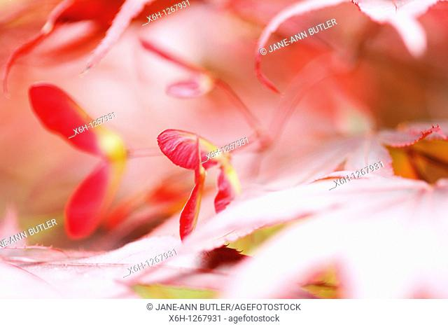 Atmospheric and Dreamy Red Maple Tree Winged Samaras