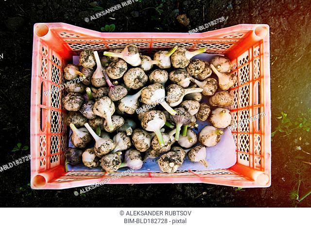 Crate of garlic bulbs in garden