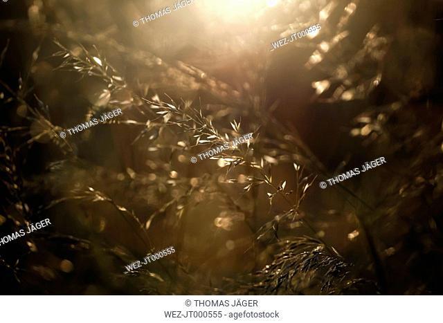 Grass in evening light