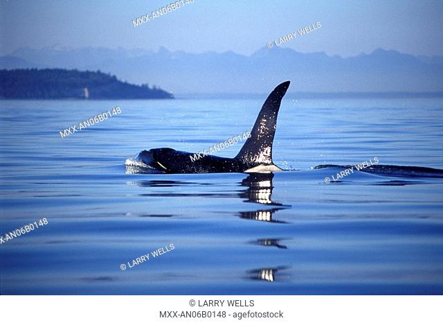 Orca, Killer whales off Victoria, Vancouver Island, British Columbia, Canada