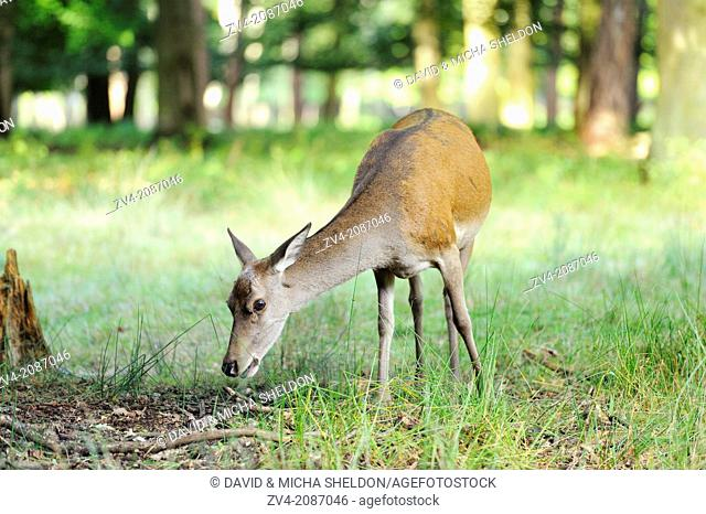 A Red deer (Cervus elaphus) female at the edge of the woods