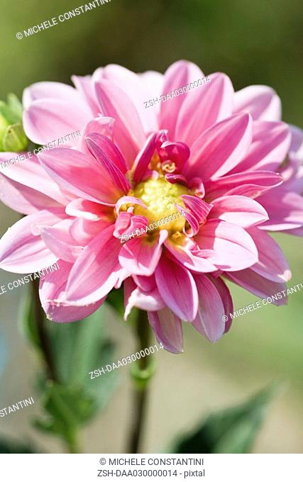 Pink dahlia in full bloom
