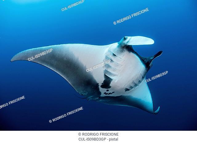 Giant oceanic manta ray, Revillagigedo, Tamaulipas, Mexico