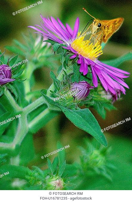 flower butterfly nature skipper aster insect