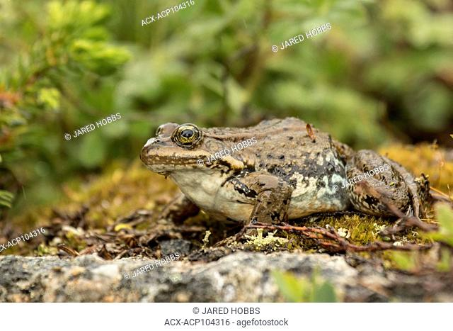 Columbia Spotted Frog, Lithobates lutieaventris, Rana lutieaventris, British Columbia, Canada