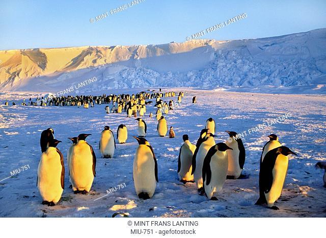 Emperor penguin colony, Aptenodytes forsteri, Weddell Sea, Antarctica