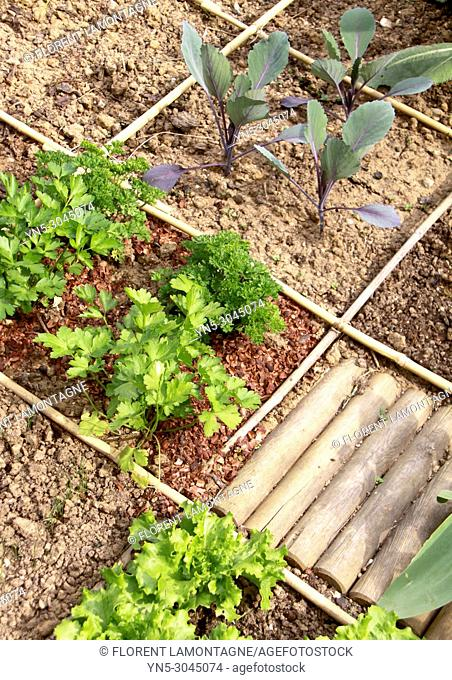 Squared vegetable garden in city with parsley, cabbage and salad