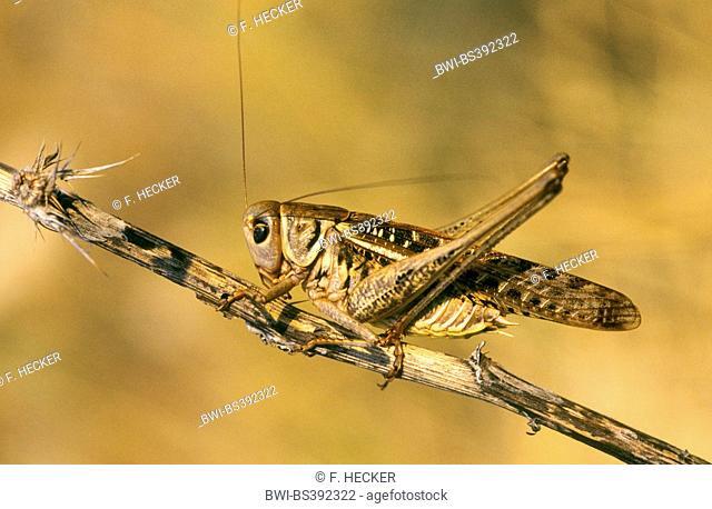 wart-biter, wart-biter bushcricket (Decticus verrucivorus), male, Germany
