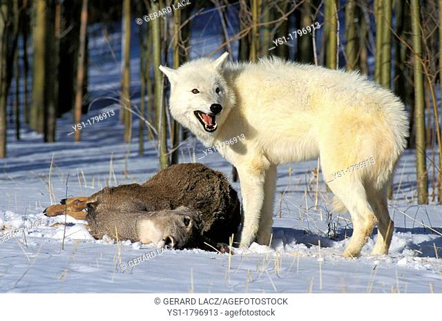 Arctic Wolf, canis lupus tundrarum, Adult with a Kill, a Wapiti, Alaska