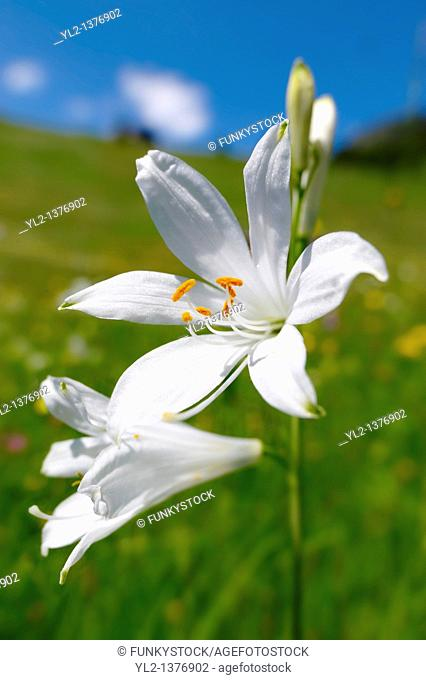 St Bruno's Lily  Paradisea lilliastrum   Alpine summer meadow  Bernese Alps