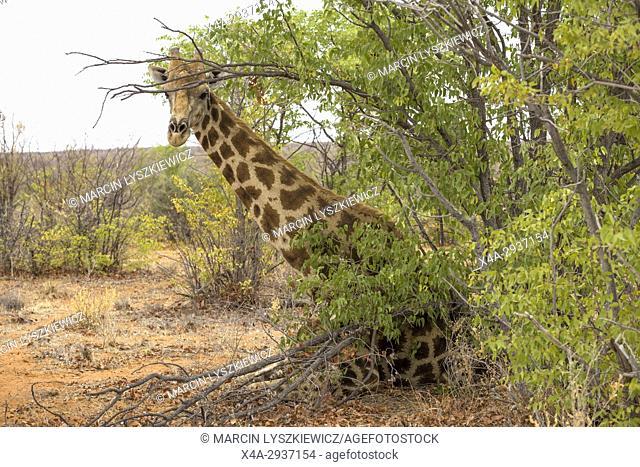 Sitting giraffe (Giraffa giraffa angolensis), Etosha National Park, Namibia