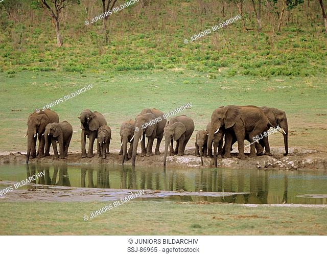 African elephants - drinking from a water hole / Loxodonta africana