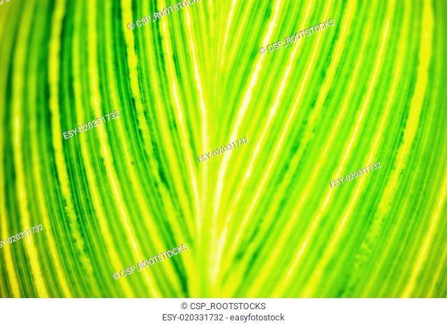 Close up of the striped yellow-light-green leaf