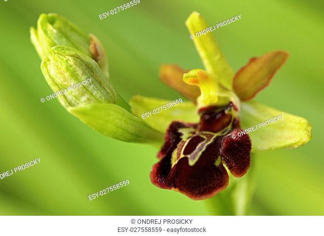 Early spring flower. Early Spider Orchid, Ophrys sphegodes, flow