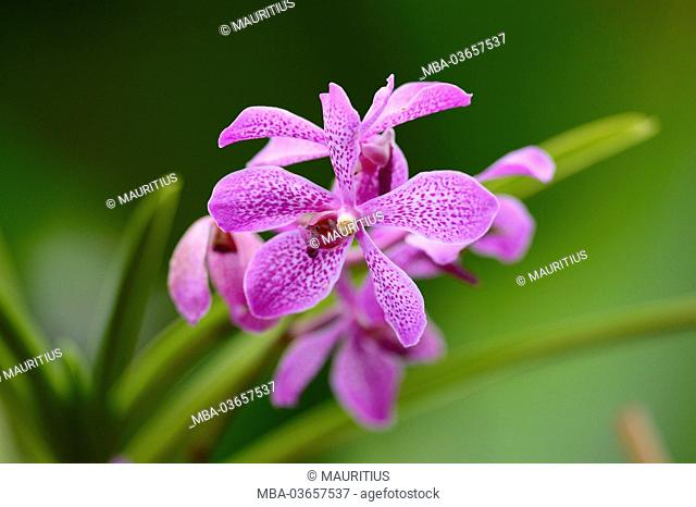 Orchid, blossom, purple, mottled