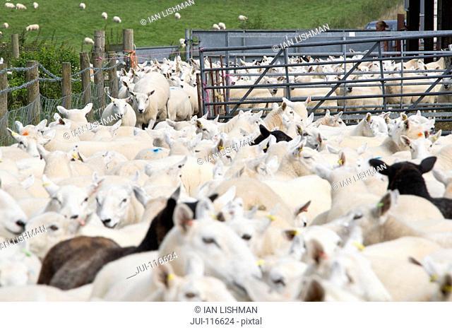 Flock Of Sheep In Pens
