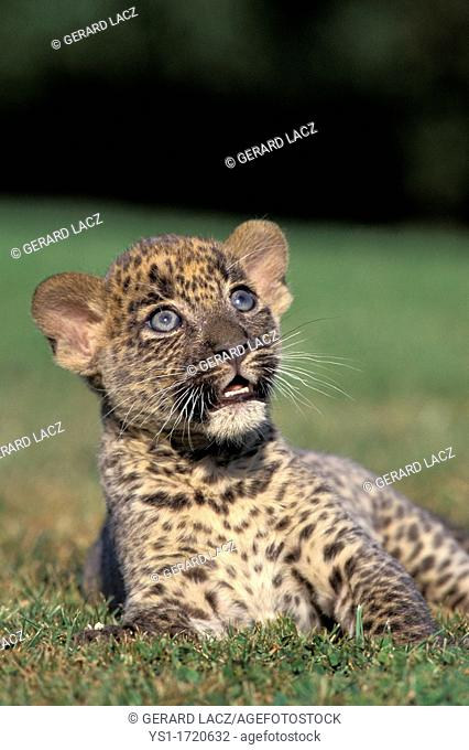 Leopard, panthera pardus, Cub laying on Grass