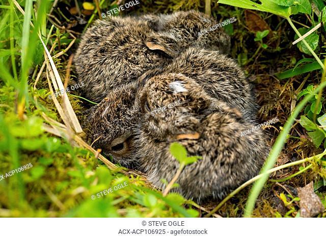 Baby snowshoe hares (Lepus americanus)! Near Hudson's Hope, BC