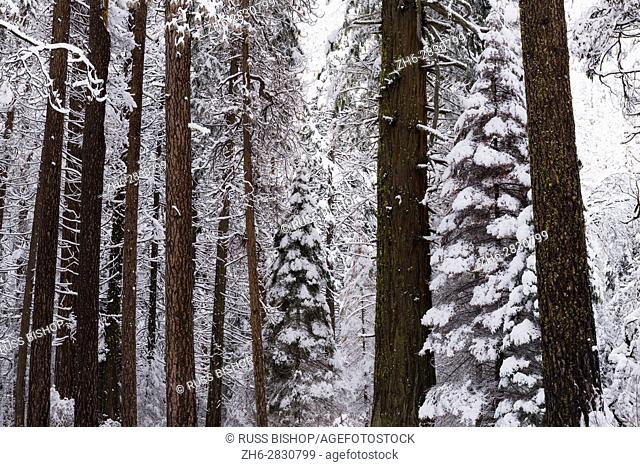 Winter pines, Yosemite Valley, Yosemite National Park, California USA