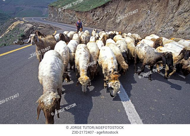 Shepherd with his flock of sheep in the middle of the road, Syria
