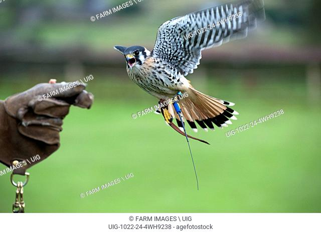 Falcon landing on gloved hand of a falconer, showing radio locater on leg. Yorkshire, UK. (Photo by: Wayne Hutchinson/Farm Images/UIG)