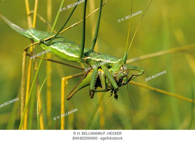 Predatory bush cricket, Predatory bush-cricket, Spiked Magician (Saga pedo), female with prey